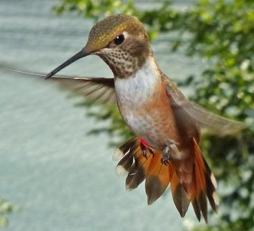 rufous hummingbird aggressive display