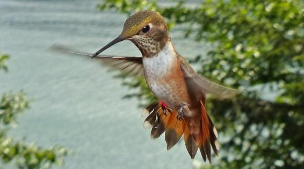 rufous hummingbird aggressive display