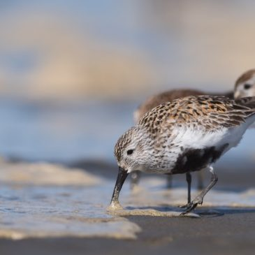 Dunlin, Grays Harbor, WA – Photo Lucas DeCicco/USFWS