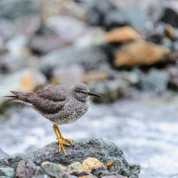 The Wandering Tattler migrates to our expanded area in the South Pacific.