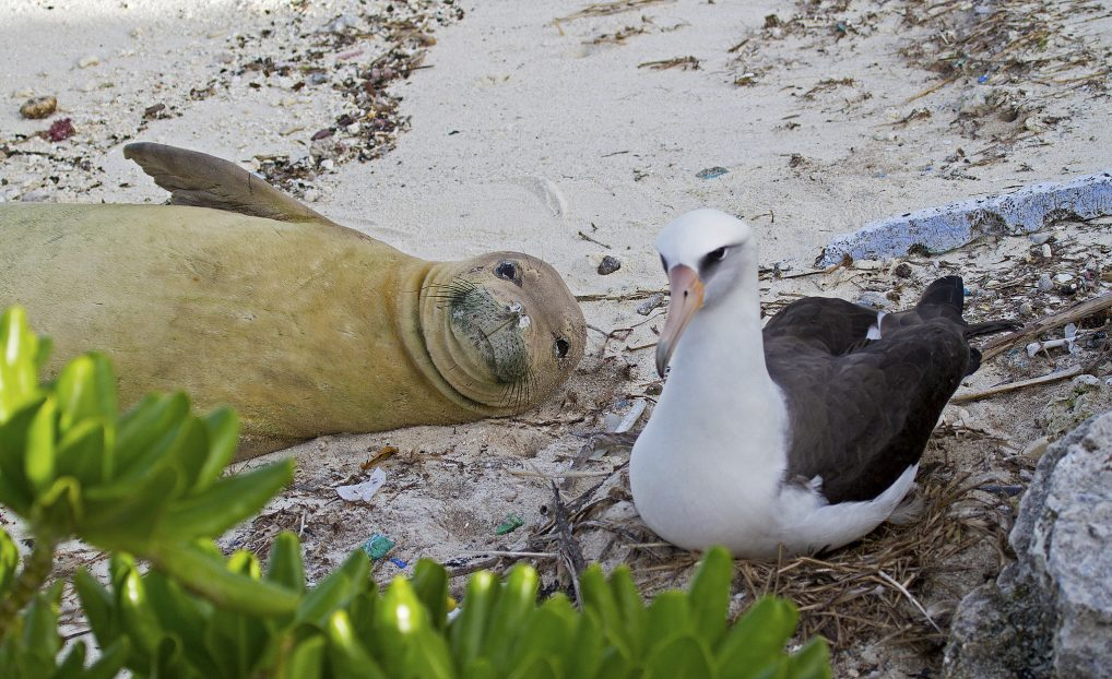 Monk seal and Laysan Albatross