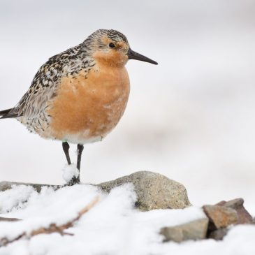 Red Knot / Lucas DeCicco, U. S. Fish and Wildlife Service
