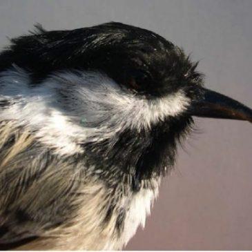 BCCH Beak Deformity