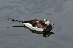 Creative commons Clangula_hyemalis_(Long-tailed_Duck_-_Eisente)_-_Weltvogelpark_Walsrode_2012-07