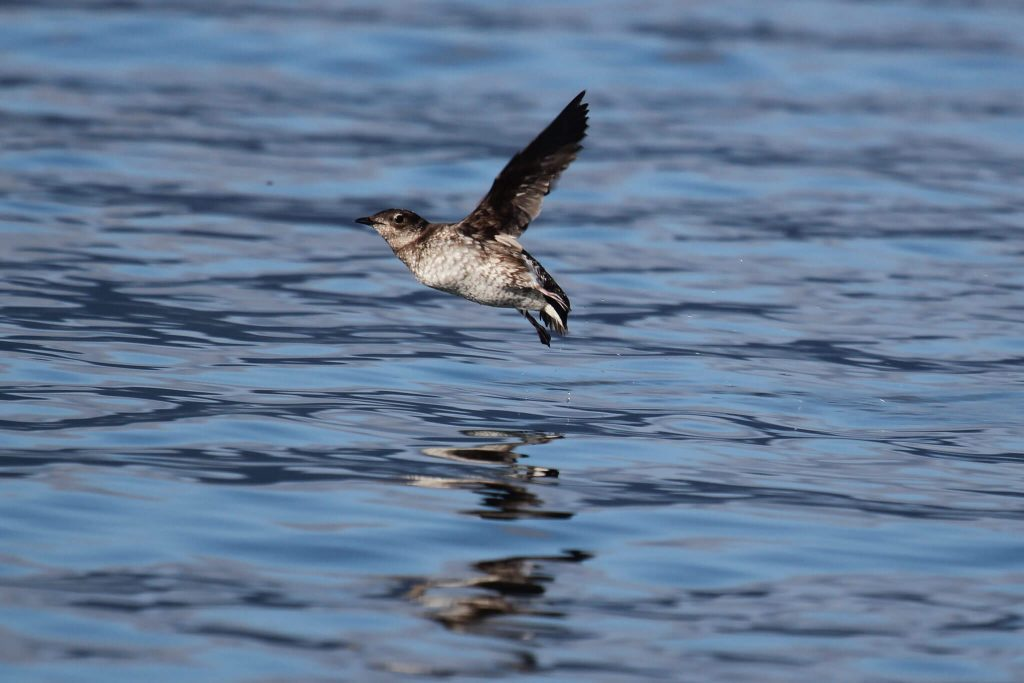 Marbled Murrelet Robin Corcoran, U. S. Fish and Wildlife Service