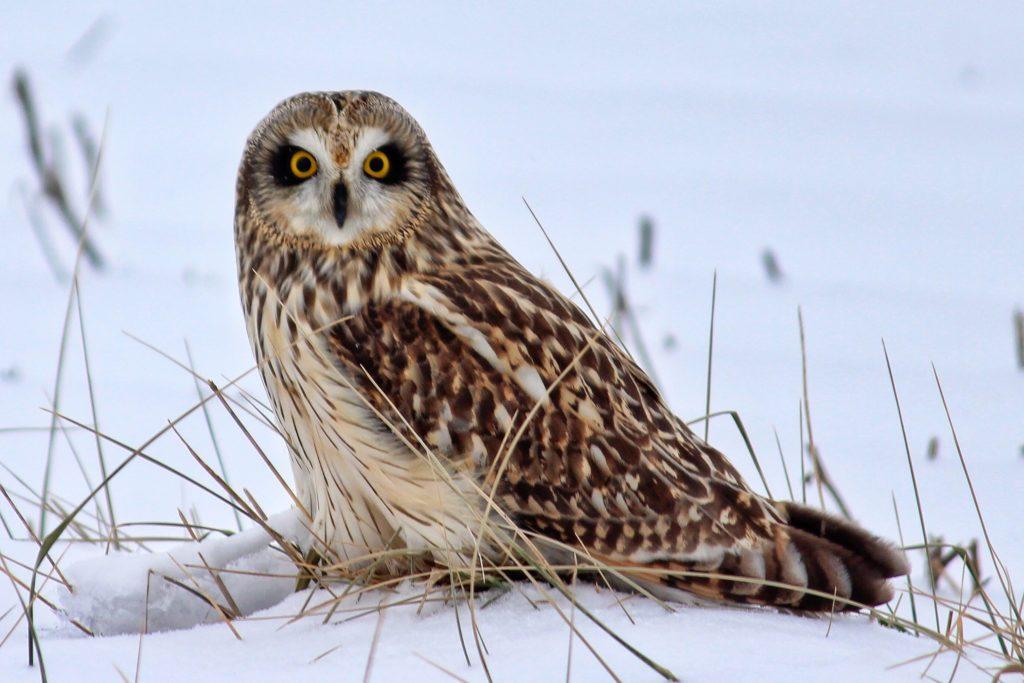 Short-eared Owl Mark Moschell © Creative Commons