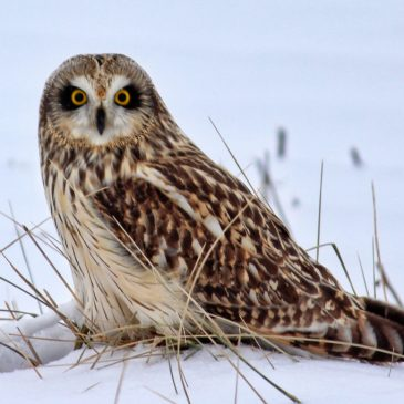 Short-eared Owl Mark Moschell © Creative Commons