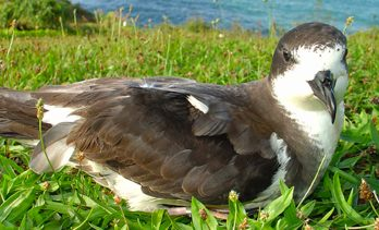 The ʻUaʻu, Or Hawaiian Petrel, Has Undergone Dramatic Population Declines. Photo – Brenda Zaun/Usfws