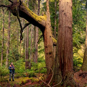 Giant trees on GPCs Grovers Creek Preserve