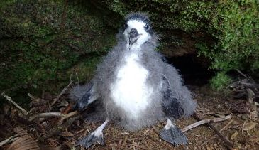 A Petrel Chick From A Previous Translocation Project. Photo – Andre Raine/Kauaʻi Endangered Seabird Recovery Project