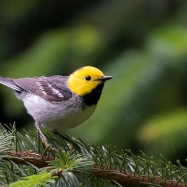 The Hermit Warbler, which breeds in the Pacific Northwest, can be seen in Veracruz in winter – along with many other warbler species. © Frode Jacobsen, Creative-Commons