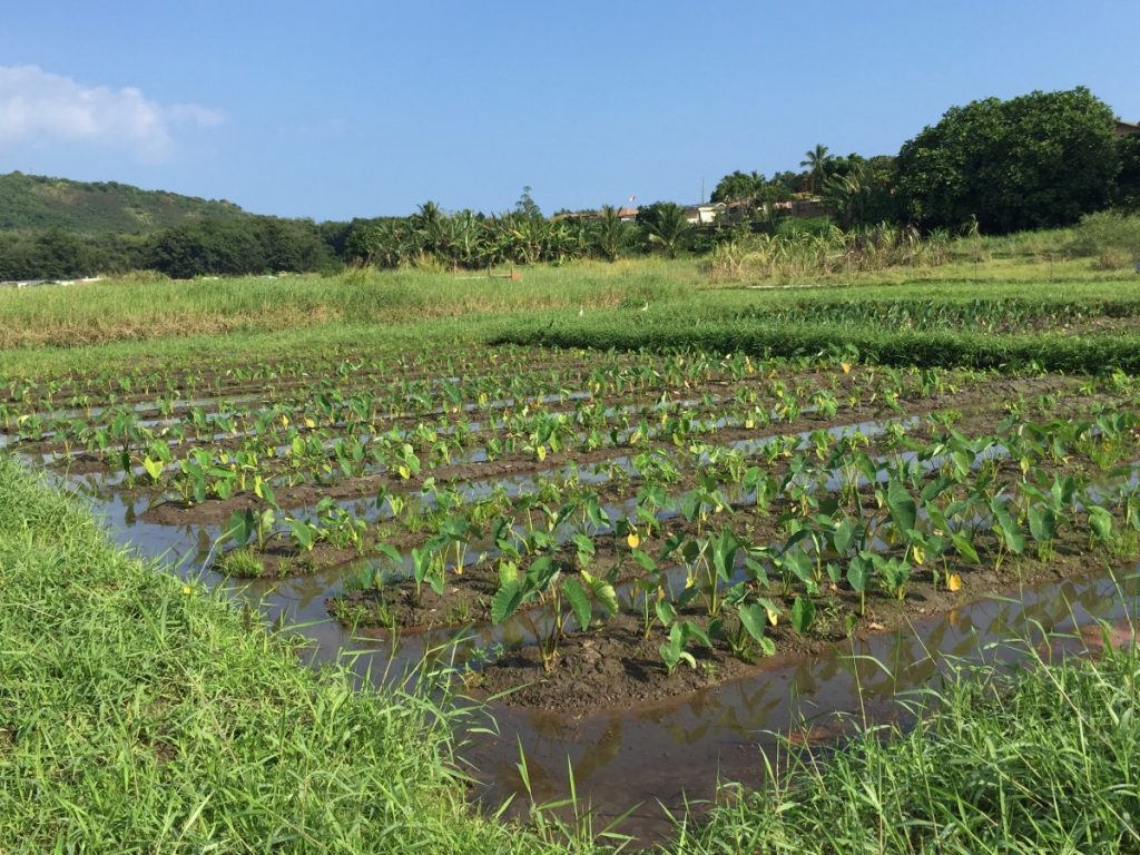 Karo (Taro) Farming Is An Imporant Part Of The Hawaiian Culture And Is A Focus Of The Wetland Project.