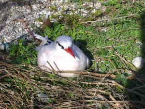 Red-Tailed Tropicbirds Breed Throughout Papahānaumokuākea. Photo David Patte, USFWS