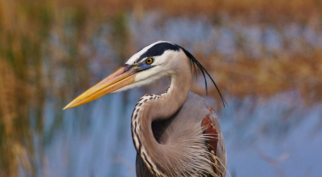 Great Blue HeronAdA Durden © Creative Commons