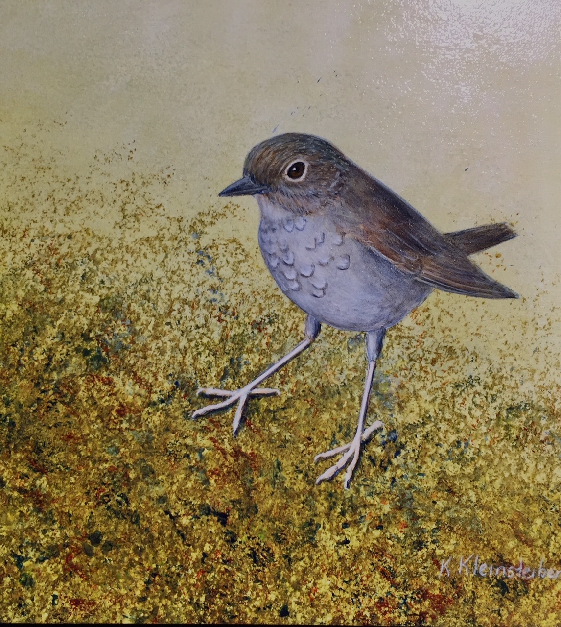 Puaiohi, or the Small Kauai Thrush, is endemic to the island of Kauaʻi. It has the unfortuate distinction of being on the IUCN's Red List. This piece for the Silent Skies project was done by Kathy Kleinsteiber,