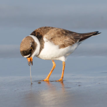 Semi-palmated Plover© Barry Troutman