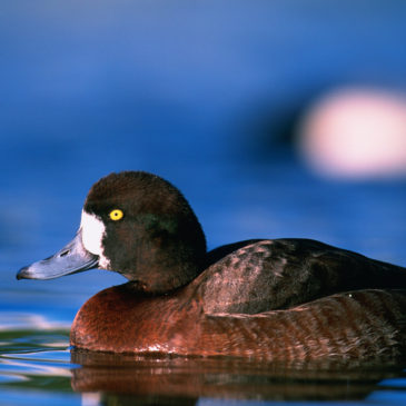 A number of bird species, such as Greater Scaup, will benefit from the Standard NAWCA projects. U.S. Fish and Wildlife Service