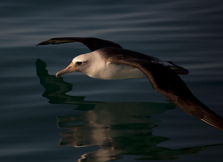 Laysan AlbatrossAndy Collins, NOAA