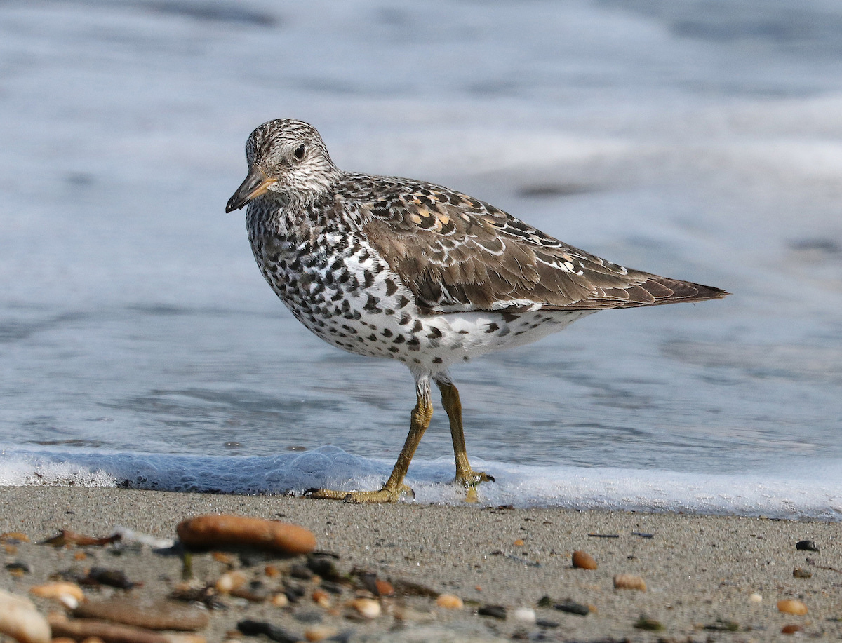 During spring migration, Surfbirds may spend only a few days on the Mendenhall Wetlands. But the habitats provide the fuel they need to keep heading North.
