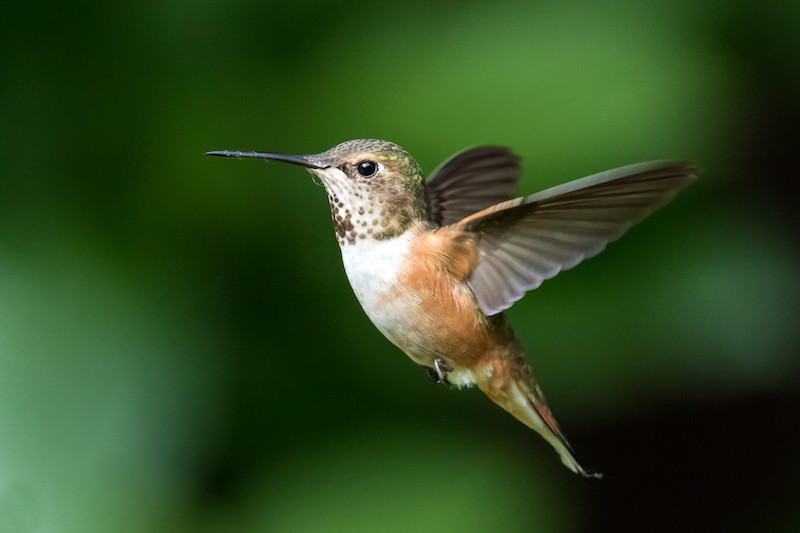 The Rufuous Hummingbird is a NAWCA Wetlands-Associated Priority species in BCR 5.<br>Mick Thompson ©Creative Commons
