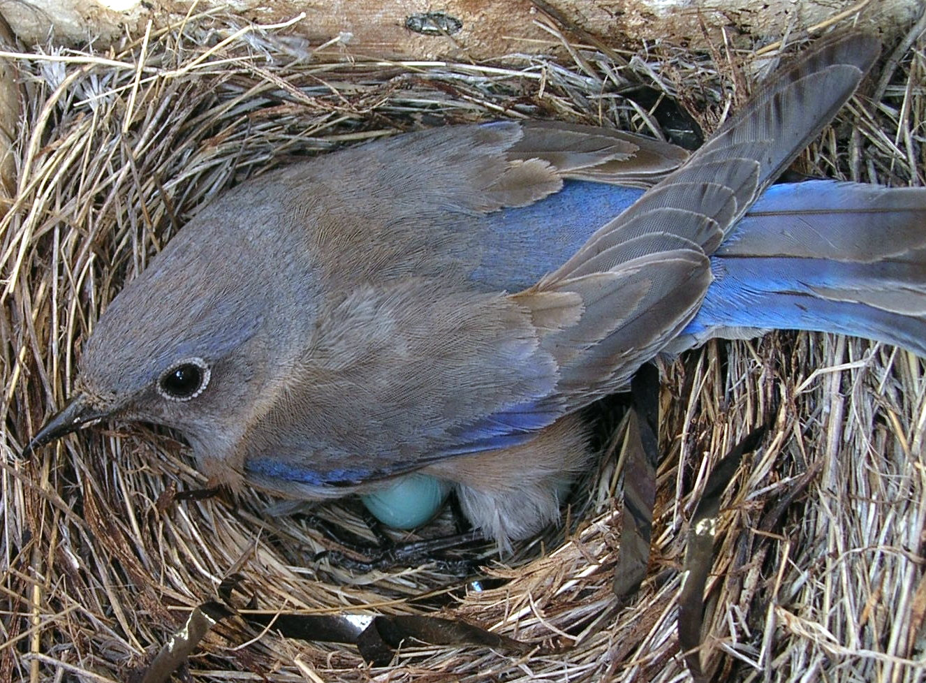 Western Bluebirds are secondary cavity nesters – they rely on other species to make their nesting cavity. <br> Rick Mooney © Creative Commons