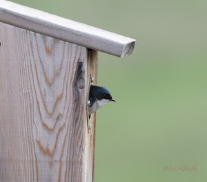 Tree Swallows also moved in, which they considered a bonus.