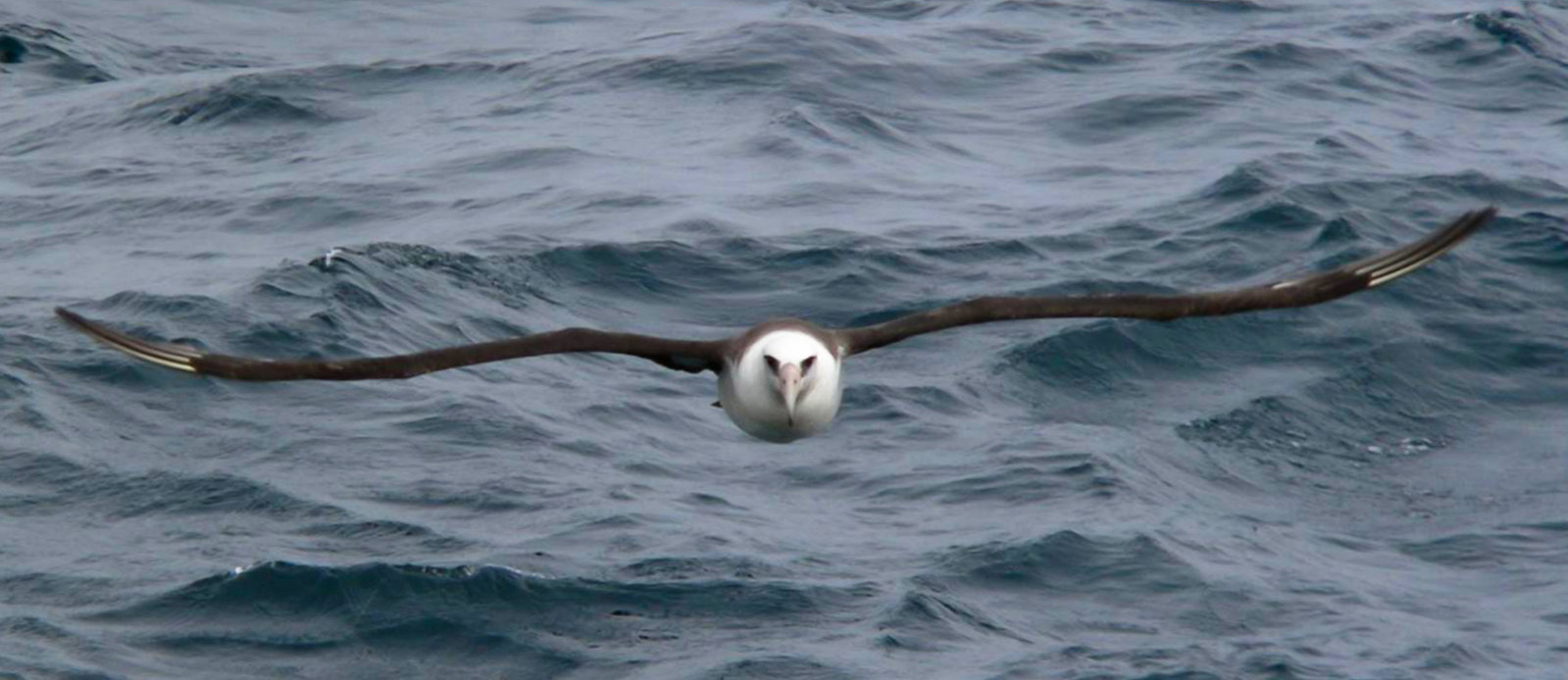 Mōlī, like other pelagic birds, spend most of their lives at sea.<br>Elizabeth Labunski / U.S.Fish and Wildlife Service