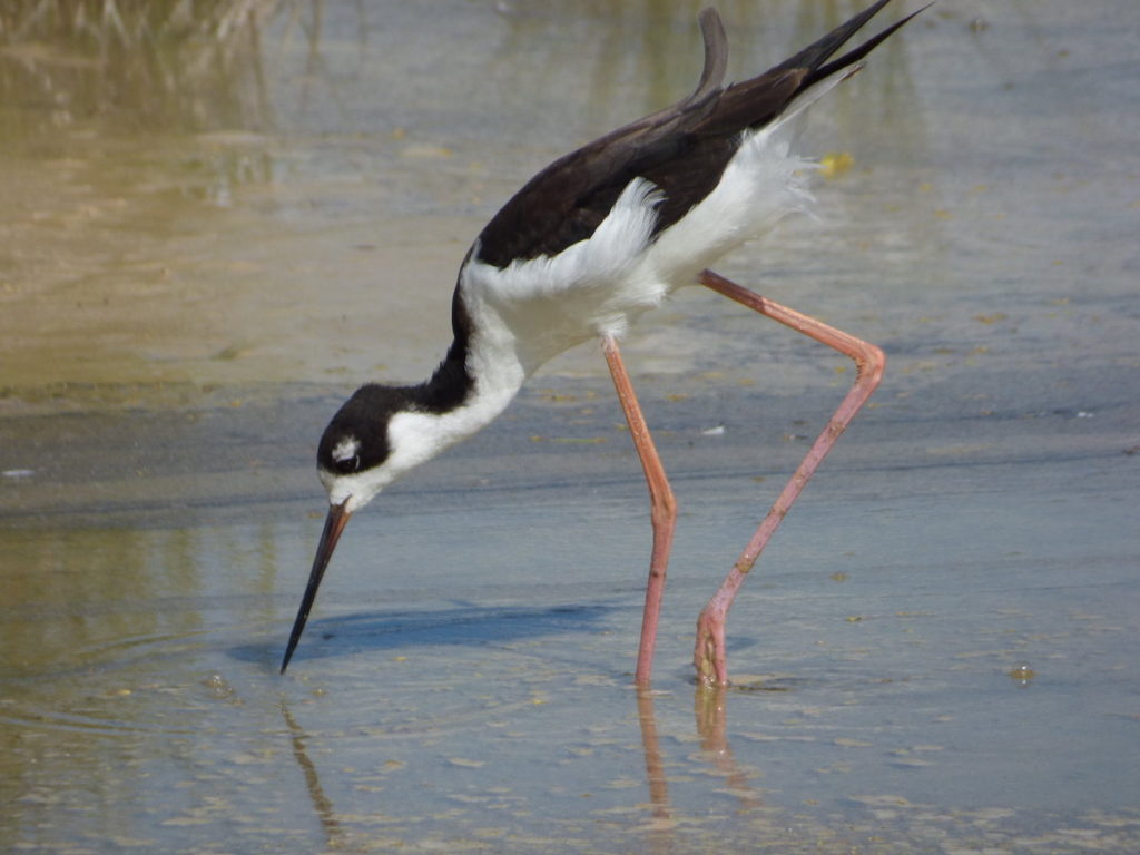 Aeʻo or Hawaiian Stilt<br>Population: About 2,000<br>Forest and Kim Starr © Creative Commons