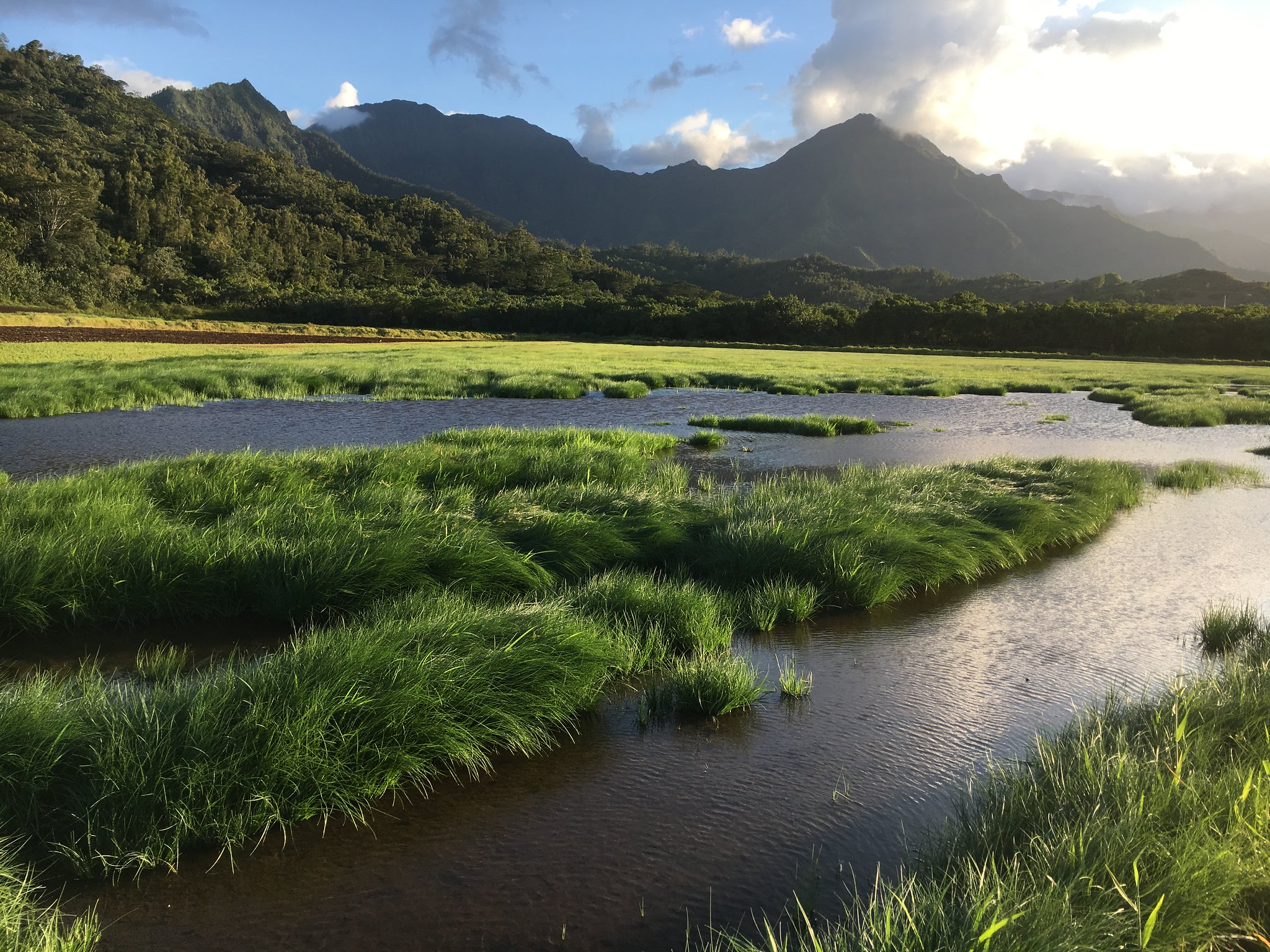 Healthy watersheds and wetands are critical to Hawaiʻi's resident endangered waterbirds, as well as many migratory species. <br> J. Waipa / U.S. Fish and Wildlife Service