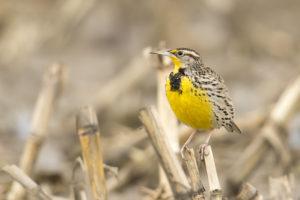 Western Meadowlark / Mick Thompson © Creative Commons