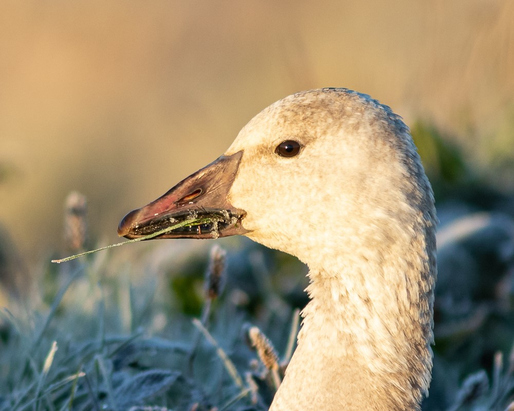 Snow Goose are one of the many bird species that use the Fraser River Delta and Estuary. <br>© Barry Troutman