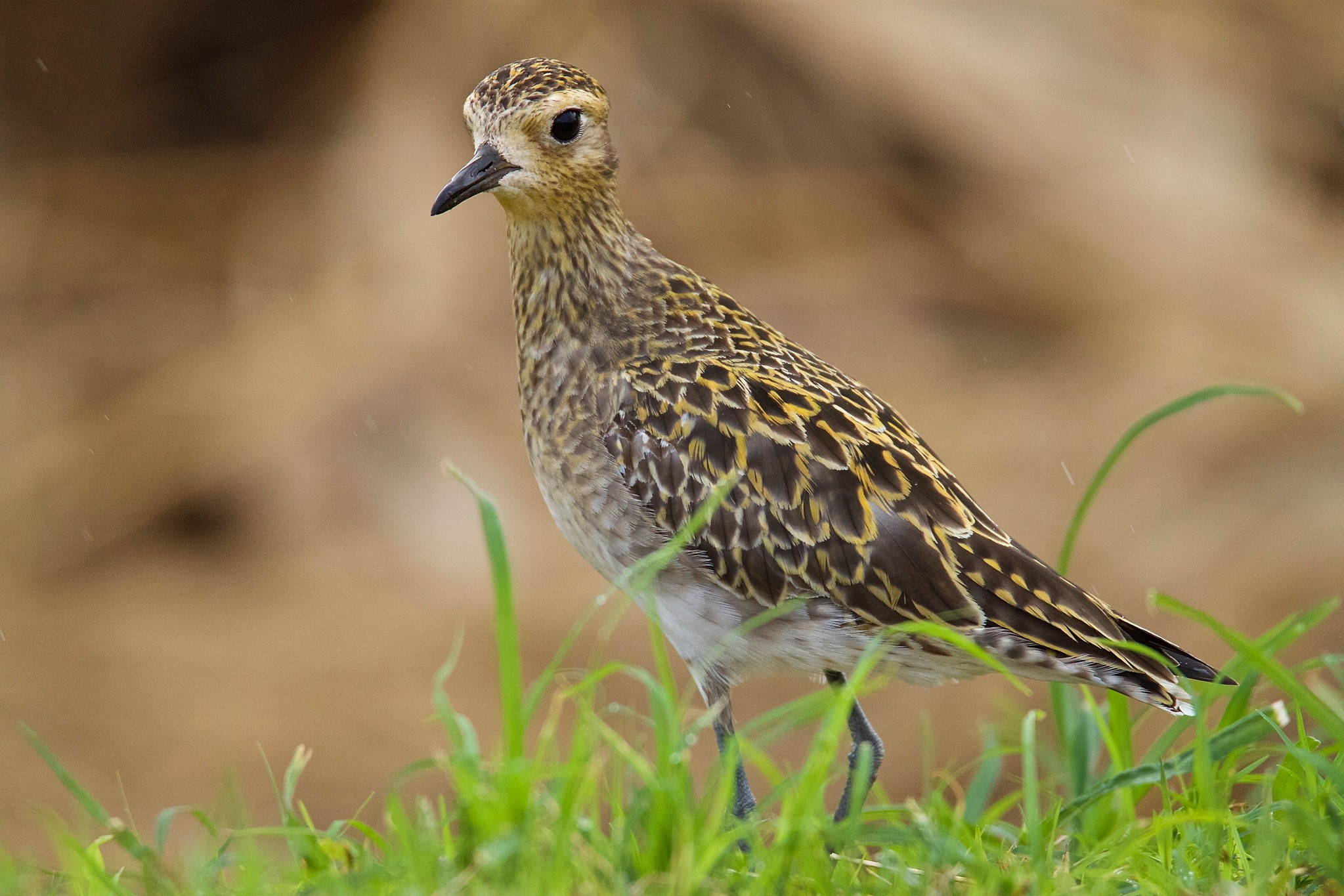 For most of its stay in Hawaiʻi, the kōlea is in its non-breeding plumage. <br>Jerry McFarland © Creative Commons