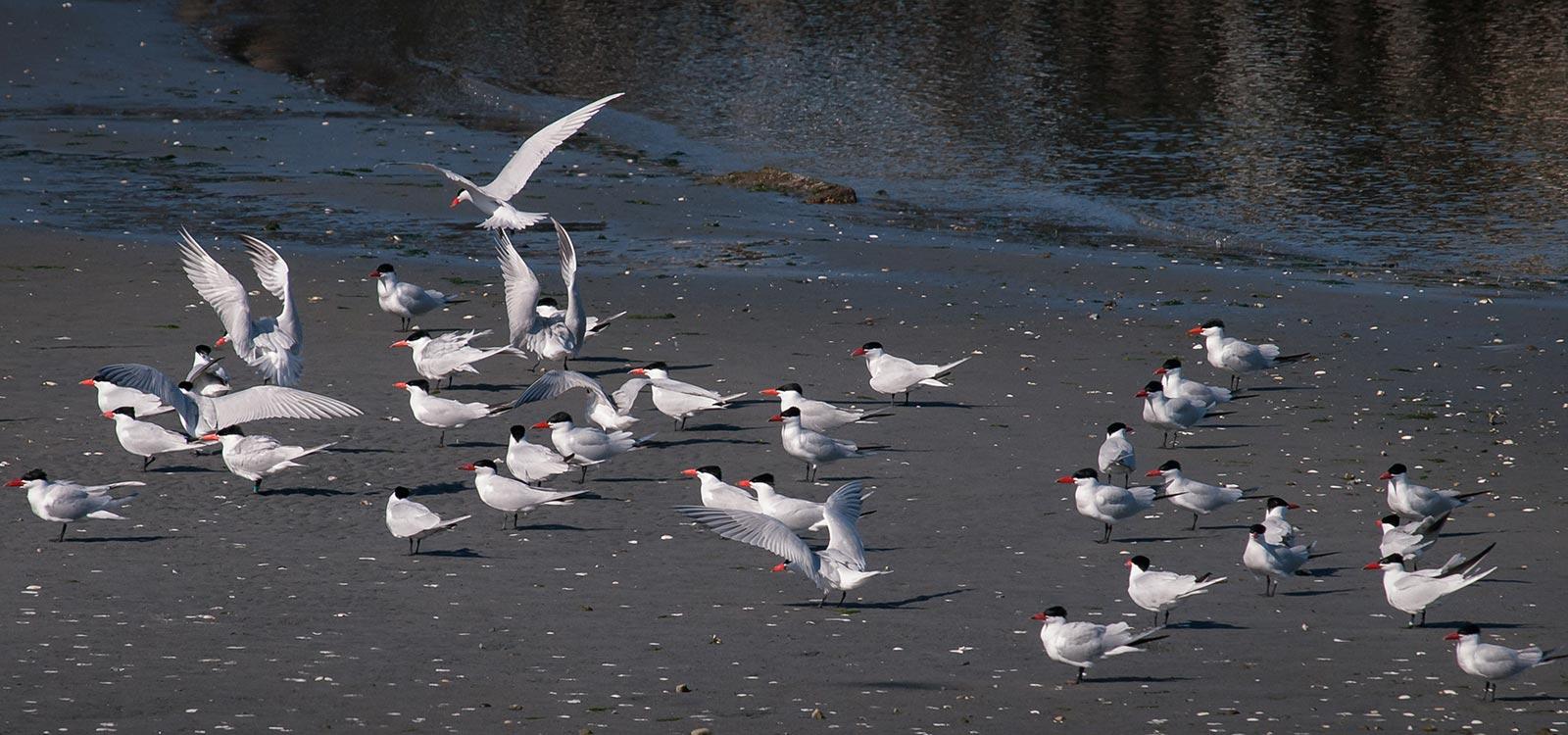Photo of Caspian Terns