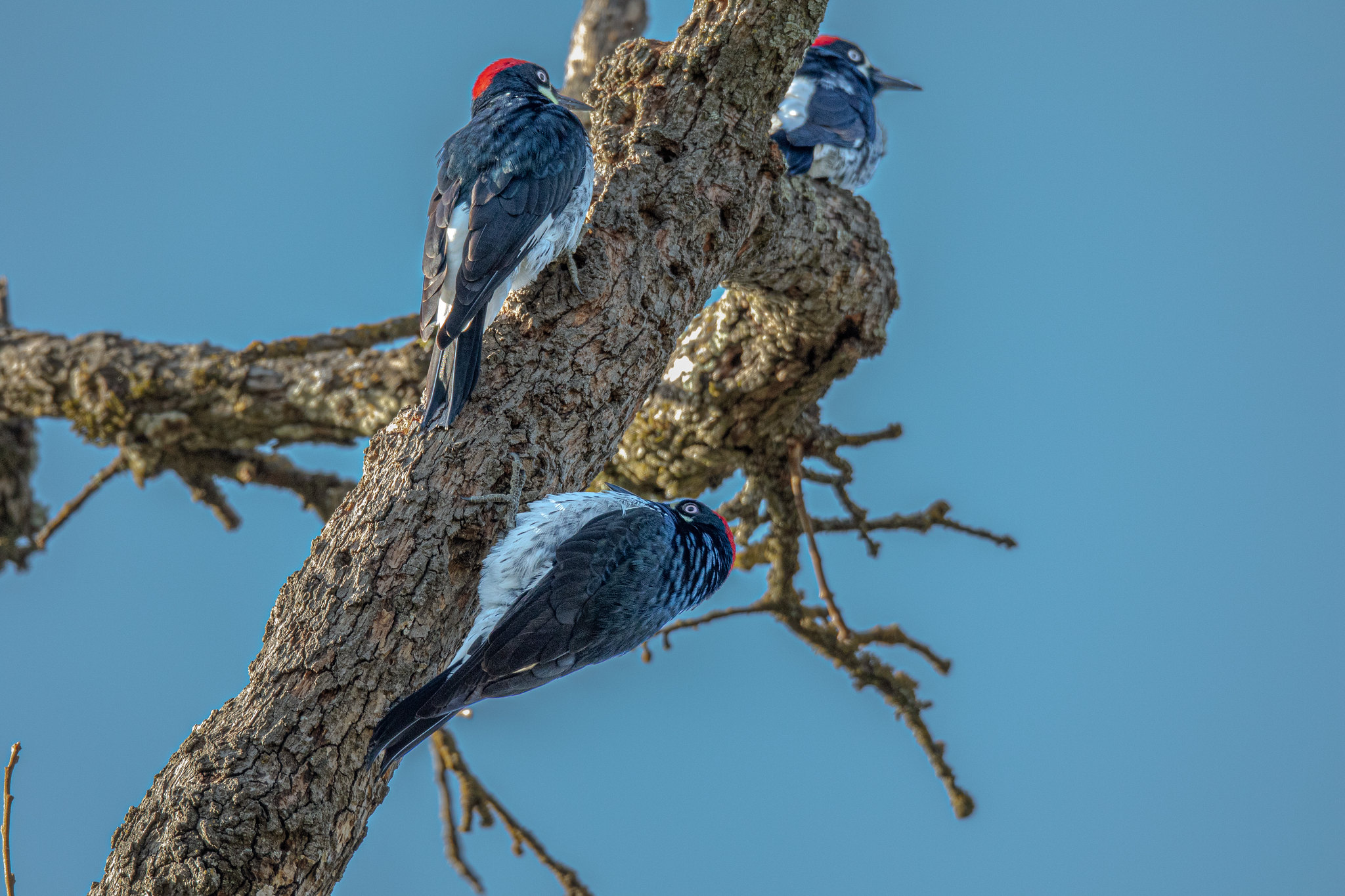 The communal habits of Acorn Woodpeckers are characteristic of the species. <br> Arvind Agarwal  © Creative Commons