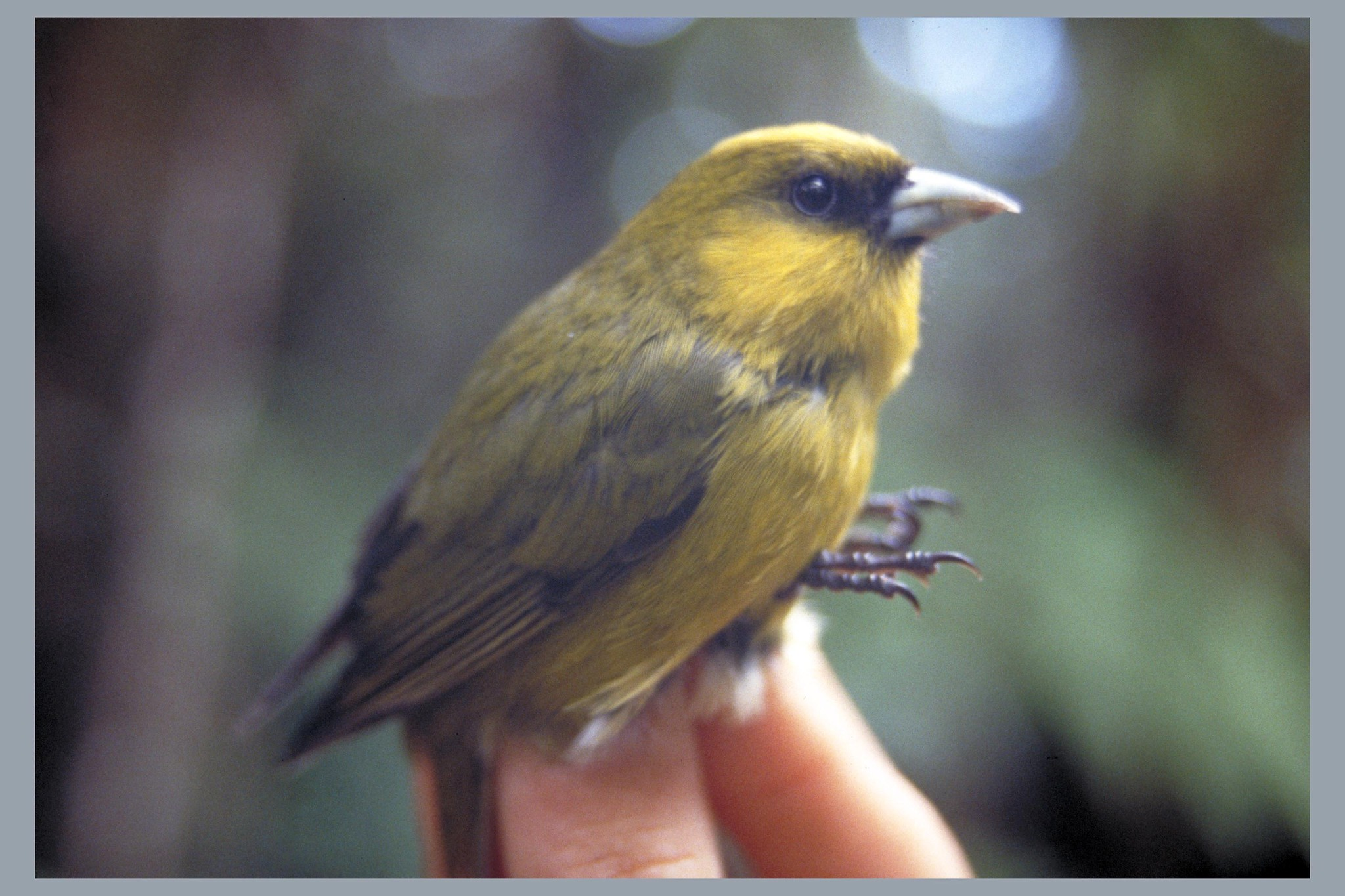 Photo of the critically endangered 'akikiki