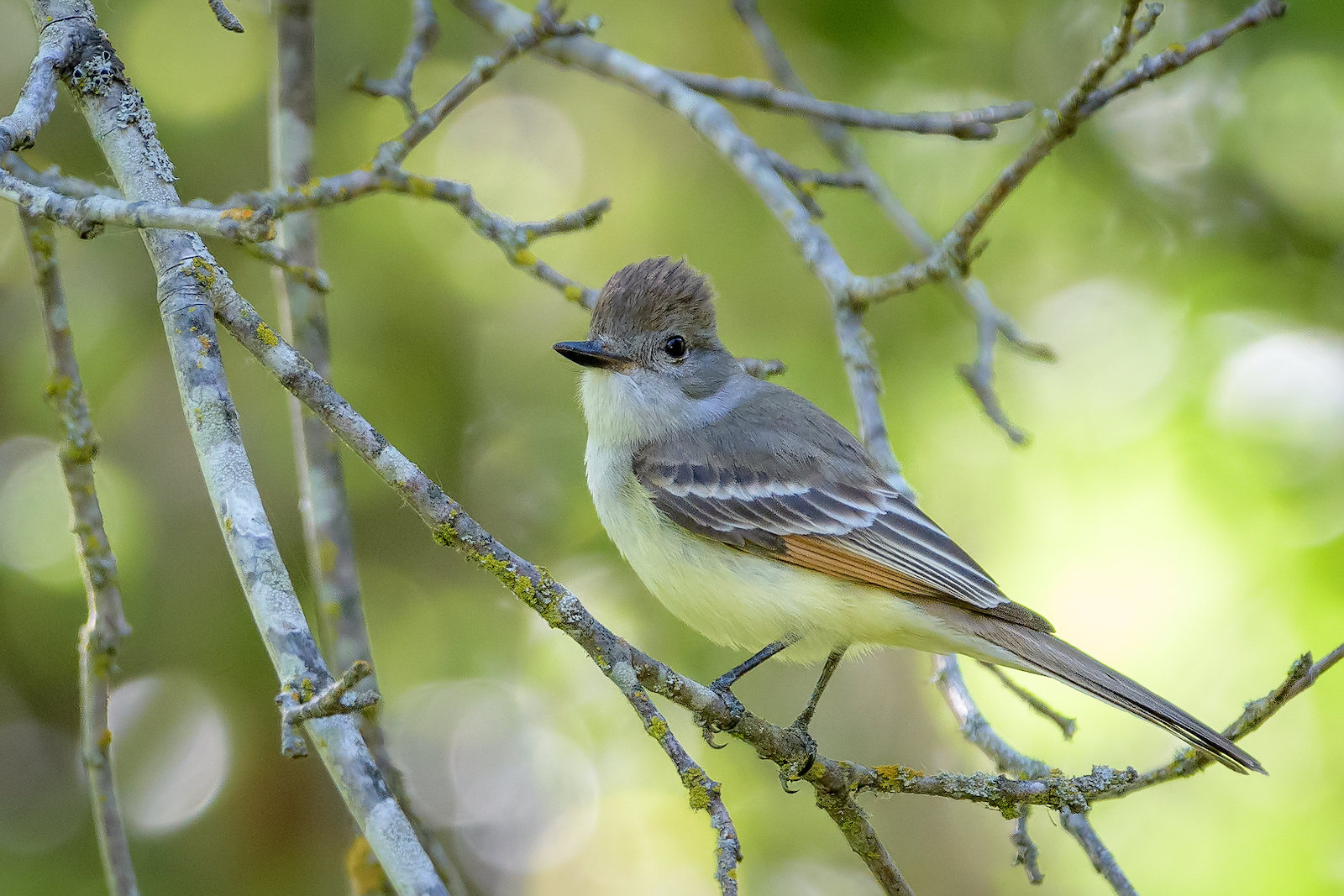 Ash-throated Flycatcher image