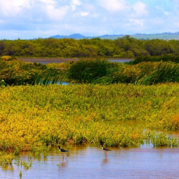 Kealia Pond National Wildlife Refuge in Maui<br>Rick Obst © Creative Commons