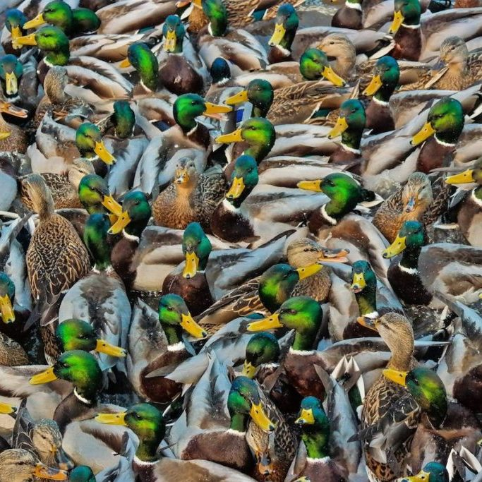 A sord of mallards in Anchorage, Alaska<br> © Amy Bragg