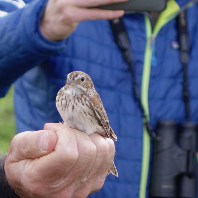 An Oregon Vesper Sparrow, prior to being banded, during a field trip to the Creswell Oaks property.<br>Photo by Bruce Taylor
