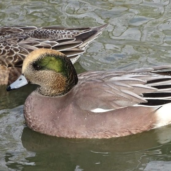 Nearly 34,000 American Wigeon were recoded on the 2019 Fraser River Estuary Count. <br>© Graham Sorenson