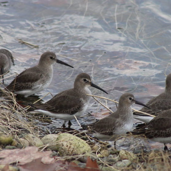 """Dunlins<br>Jon. D. Anderson <a href=""""https://creativecommons.org/"""" class=""""caption-link"""" target=""""_blank"""" rel=""""noreferrer noopener"""" aria-label=""""This is an external link (opens in a new tab)"""">© Creative Commons</a>"""