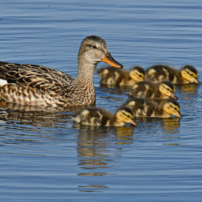 """Gadwall with chicks <br>Thomas Landgren <a href=""""https://creativecommons.org/"""" target=""""_blank"""" rel=""""noreferrer noopener"""" aria-label=""""This is an external link (opens in a new tab)"""">© Creative Commons</a>"""