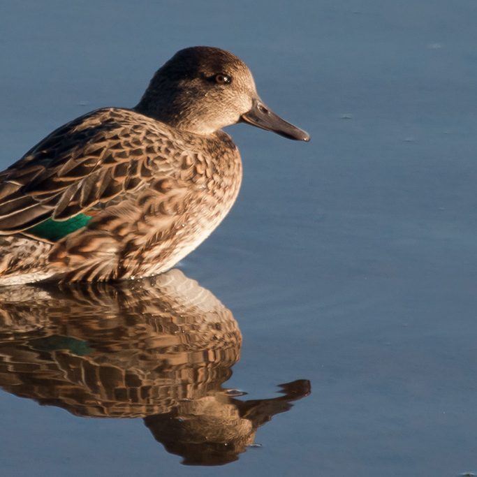 Green-winged Teal<br>Peter Pearsall, U.S. Fish and Wildlife Service