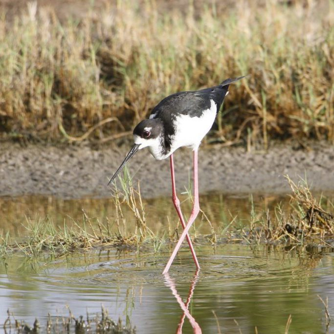 ae'o (Hawaiian Stilt)<br> © Bill Heber