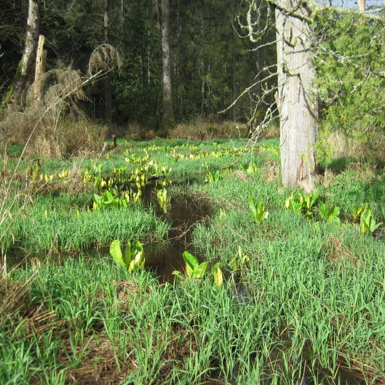 Skagit Land Trust used NAWCA and other funds to conserve wetlands in the North Pugent Lowlands.