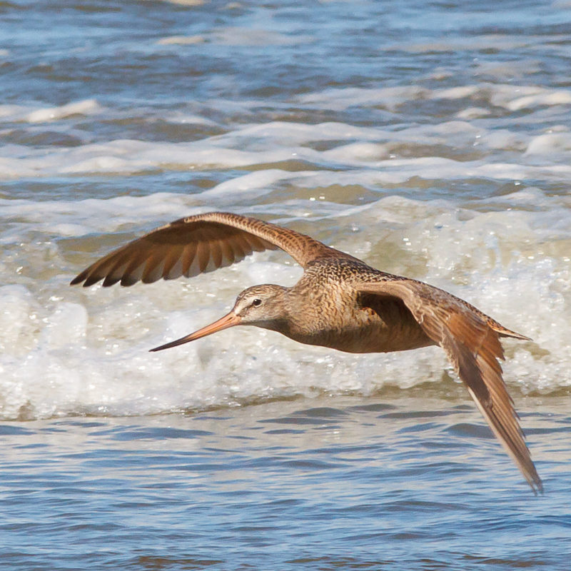 Marbled Godwit © Barry Troutman