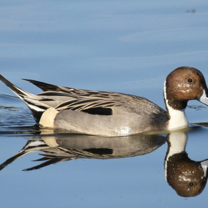 The Northern Pintail is a High Priority Waterfowl Species in the NAWCA program.<br>Aaron Maizlish © Creative Commons