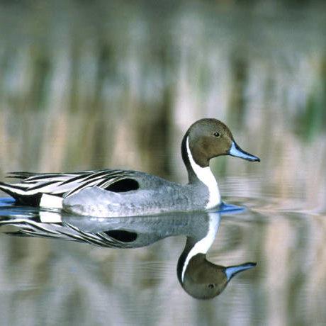 Northern PintailDave Menke, U. S. Fish and Wildlife Service