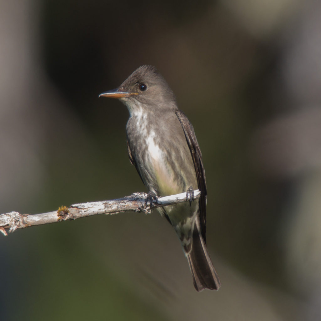 Olive-sided Flycatcher<br>Eric Gropp © Creative Commons