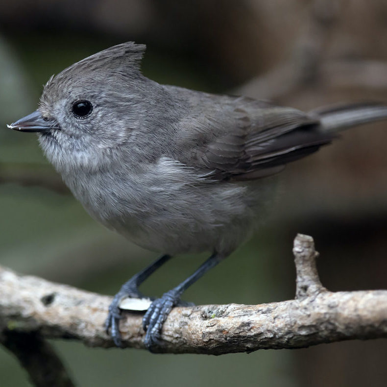 Oak Titmouse <br>Doug Greenberg © Creative Commons